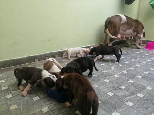 cachorros pitbull stanford