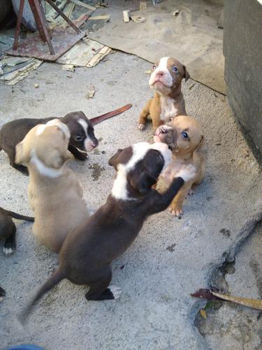cachorros pitbulls 45 días