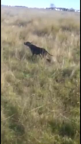 cachorros pointer