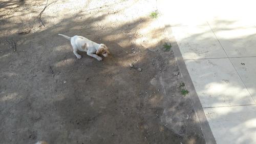 cachorros pointer ingles