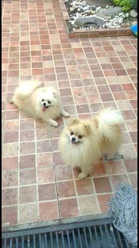 cachorros pomerania cara de oso aptos cpr pequeñitos