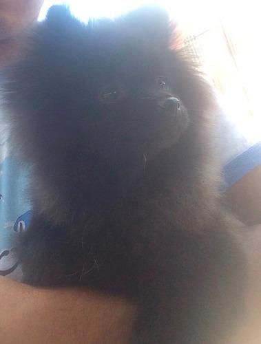 cachorros pomerania cara de oso negros