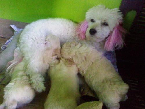 cachorros poodle con terrier