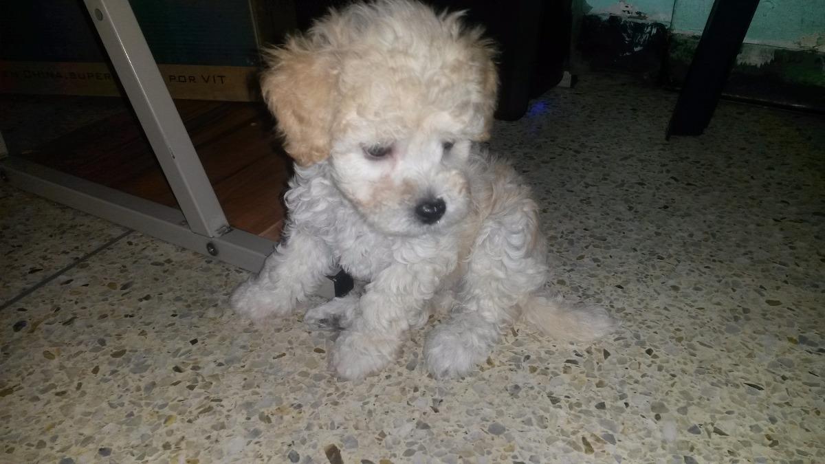Cachorros Poodle Mini Toy Tacita De Te