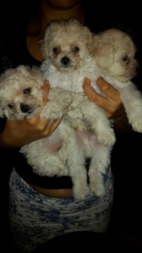 cachorros poodler