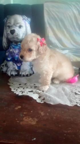 cachorros poodles mini toys puros . puerto ordaz