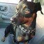 Perro Para Monta Pinsher