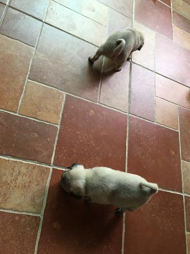 cachorros pug carlino