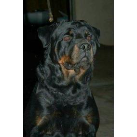 b91a85d8f0f Filhotes De Rottweiler Puros Preço Promocional R  499