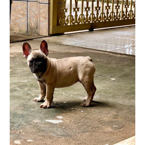 1e445a976 Bulldog Francês Curitiba - Cachorros Buldogue no Mercado Livre Brasil