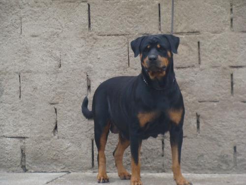 cachorros rottwailer con pedigri