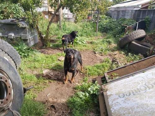 cachorros rottweilers alemán