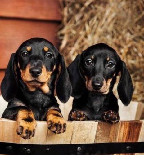 cachorros salchicha ultra mini ( precio por estos días)