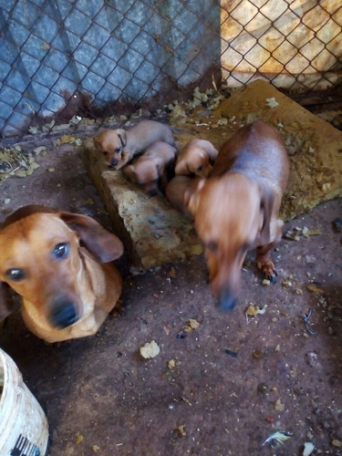 cachorros salchichas, dachshund