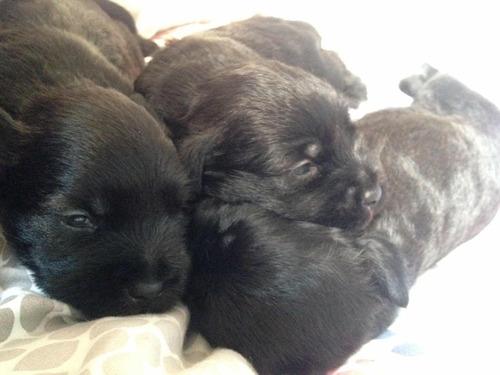 cachorros schnauzer de 3 meses - negociables