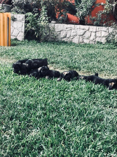 cachorros schnauzer gigantes de 4 meses