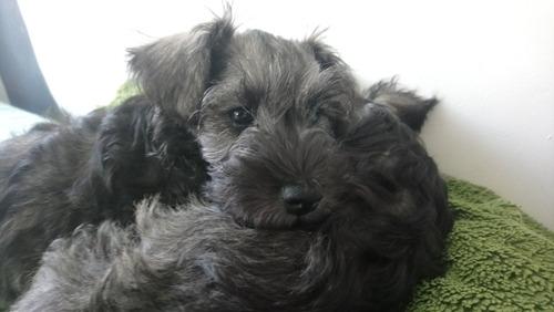cachorros schnauzer  legitimos de schnauzer 100%