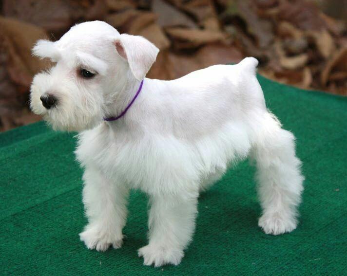 Miniature Schnauzer Hair Styles: Cachorros Schnauzer Mini.. Puros Garantizados Sal Pimienta