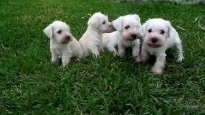cachorros schnauzer miniatura