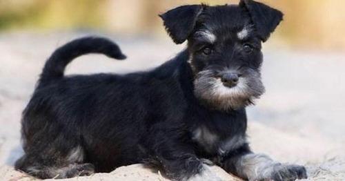 cachorros schnauzer sal pimienta y black and silver pedigree