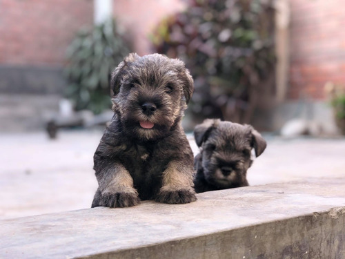 cachorros schnauzer sal y pimienta 100% legitimos
