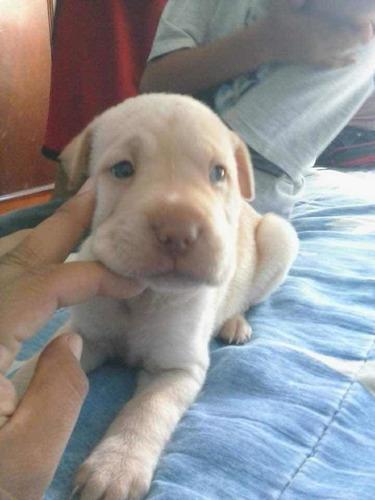 cachorros sharpei en venta