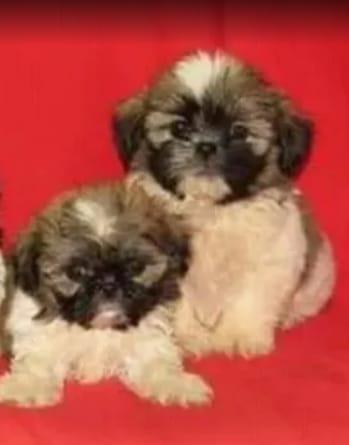 cachorros shihtzu hijos de padres campeones internacionales