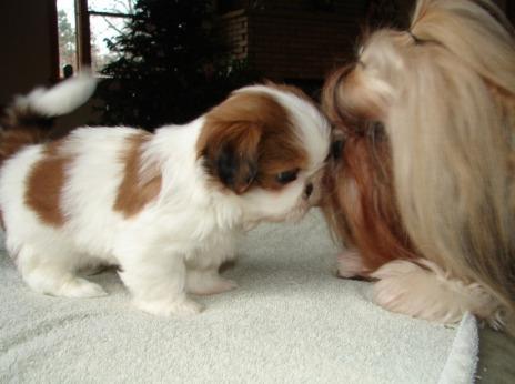 cachorros shihtzu los mas enanitos y con genetica imperial