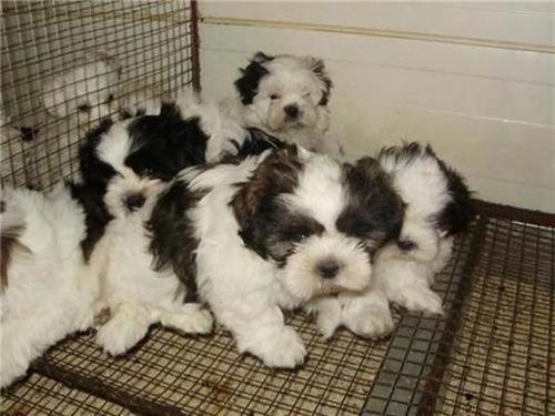 cachorros shin tzu minitoy