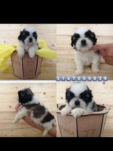 cachorros shitzu a la venta