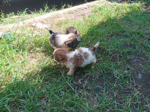 cachorros shitzu imperial
