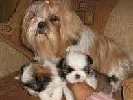 cachorros shitzu miniatura extremos