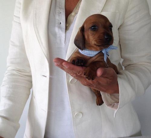 cachorros teckel salchicha, padres importados full pedigri