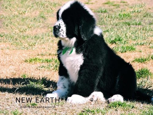 cachorros terranova new earth