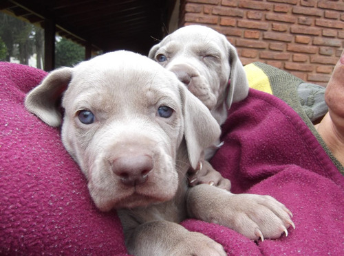 cachorros weimaraers con papeles y microchip c.indavera