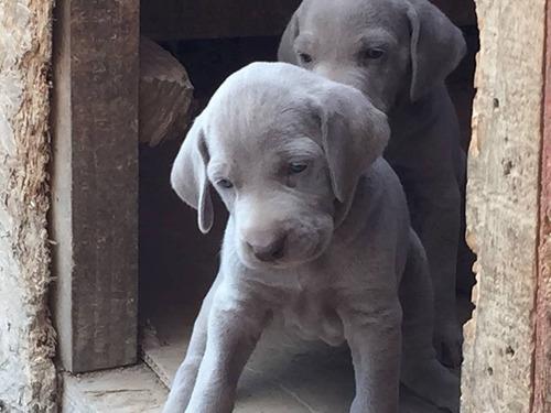 cachorros weimaraner inscritos entrega oct 19 los mejores