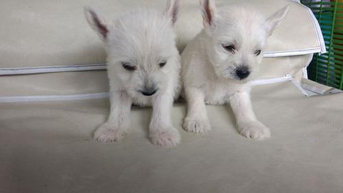 cachorros west highland