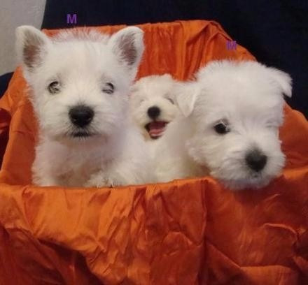 cachorros west higland terrier hembras y machos