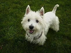 cachorros westie (west highland white terrier)