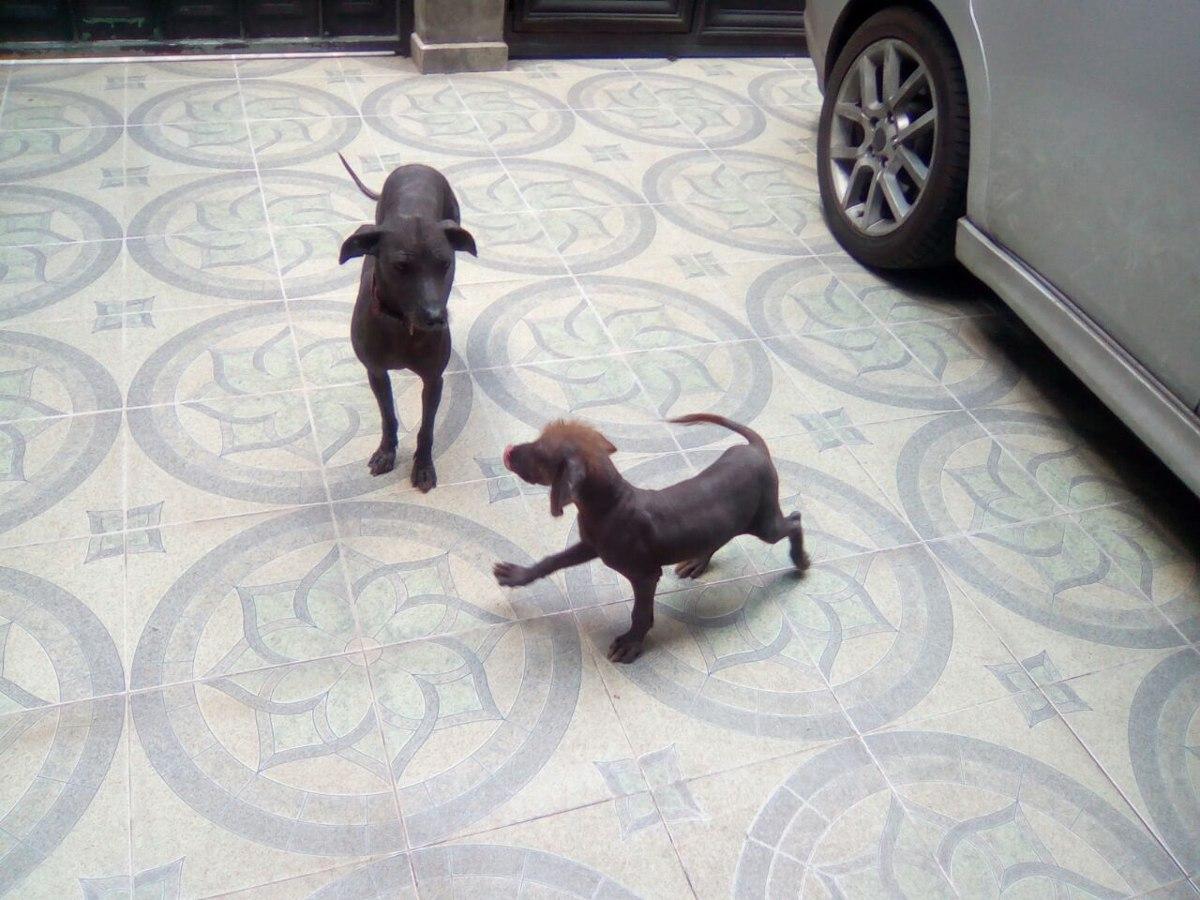 Cachorros Xoloitzcuintle 4 En Mercado Libre