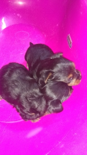 cachorros yorki mini