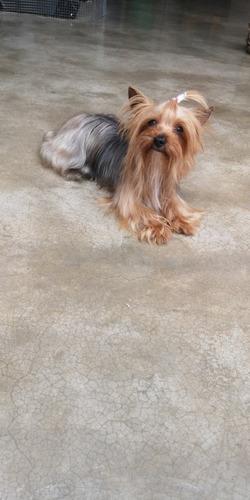 cachorros yorkshire terrier en venta