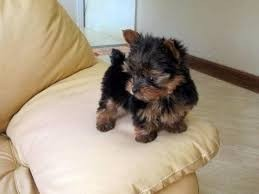 Yorkshire terrier toy quito
