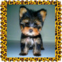 Hermosos Yorkshire Terrier Hembras Y Machos Con Pedigree