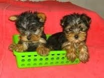 cachorros yorkshire terrier tea cup