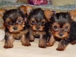 cachorros yorkshire terrier tea cup minis