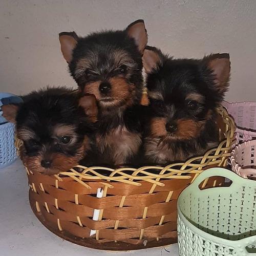 cachorros yorkshire terrier teacup hembra macho monta