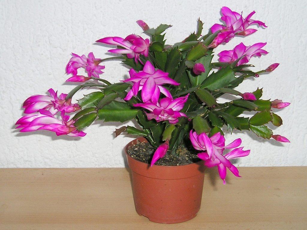 Cactus De Navidad (colores: Blanco, Amarillo,rosado, Etc) - $ 15.000 ...