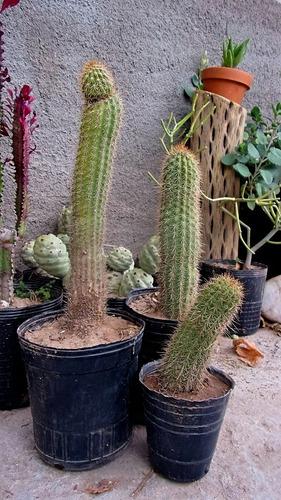 cactus echinopsis huascha grandiflora