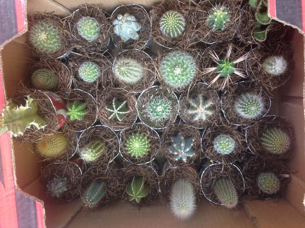 Cactus ex ticos al mayoreo caja 30 pzas en for Donde venden cactus